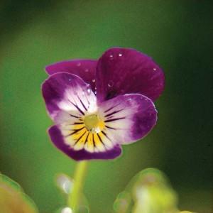 viola-tricolor-wild-pansy